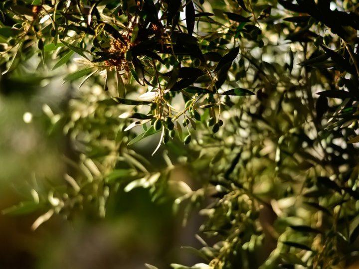 Ramo di Olivo con Olive